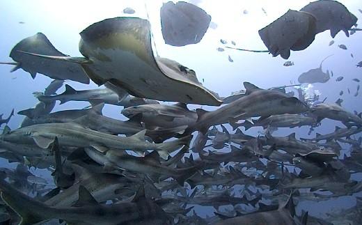 ドチザメに交じって、エイも間近で見ることができます。