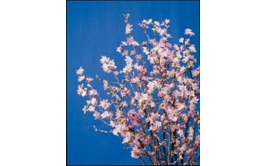 FY18-717 山形市産啓翁桜80㎝(2~3本入)×7袋
