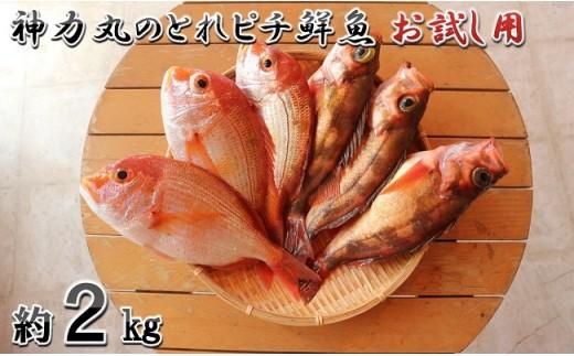 [A-5801] 越前三国港 漁船「神力丸」 船長がお届けするとれピチ鮮魚お試し用 約2kg  まずは刺身でどうぞ!