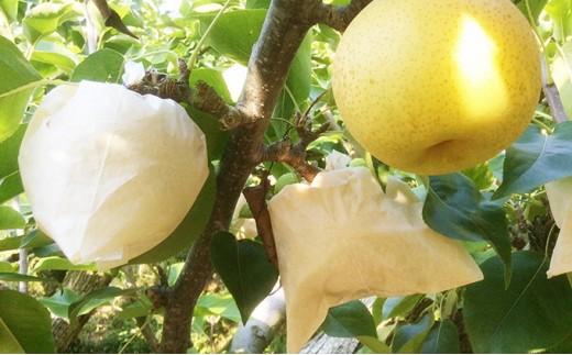 [№28223-0245]春日農園の梨 約5kg