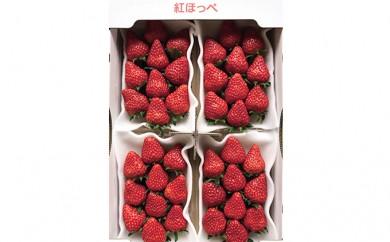 [№5790-0348]農水大臣賞受賞農園からお届け イチゴ・紅ほっぺ 4パック