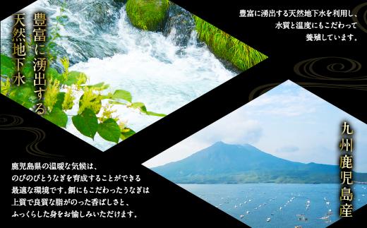 九州鹿児島産 豊富に湧出する天然地下水を利用した養殖うなぎ