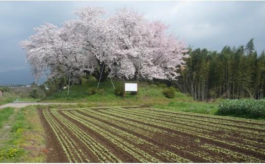 東尾地区、大塚古墳の桜の木と、そばの畑