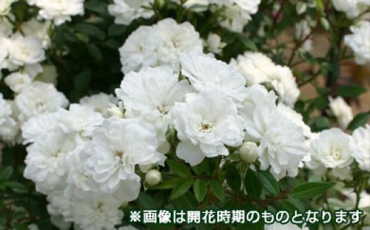 B0-274 バラ鉢植え「雪あかり」