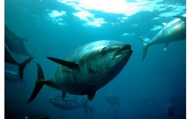 (38,000pt)【漁業体験】まぐろ養殖餌やり体験とタコかご漁