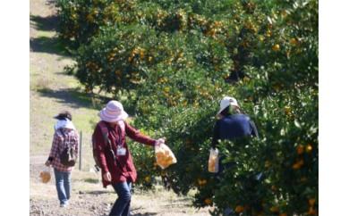 (15,000pt)みかん収穫体験
