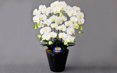 [№5809-2340]光触媒アートフラワー(造花) コチョウランM5本立 白