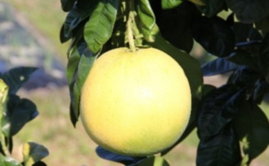 [№5682-0238]期間限定 八代特産 晩白柚(ばんぺいゆ)2玉(クレジット限定)