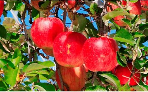 B09 吉岡町産りんご(旬のりんごの詰め合せ) 約5kg