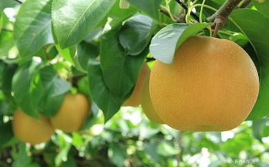 [№5672-0219]長谷川梨園 梨のおいしさを追求した豊水 3kg