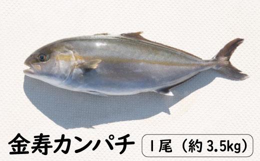 K13 金寿カンパチ