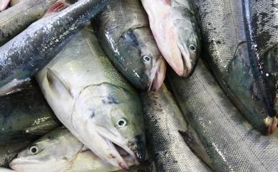 [№5766-0176]秋の味覚!天然秋鮭オス贅沢丸一本(約3~3.5kg)【北海道釧路町昆布森産】