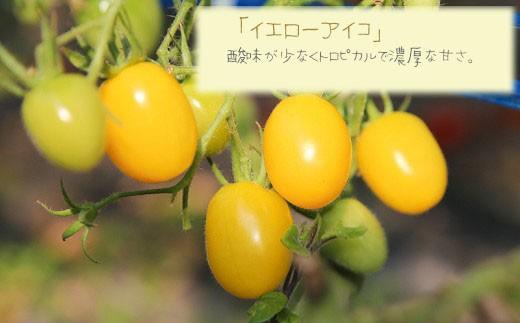 「イエローアイコ」 酸味が少なくトロピカルで濃厚な甘さ。