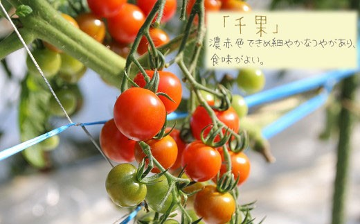 「千果」 濃赤色できめ細やかなつやがあり、食味がよい。