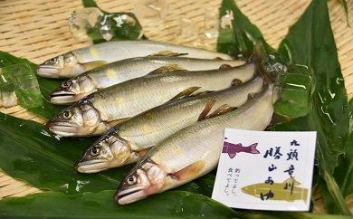 清流育ちの九頭竜川勝山あゆ(3~4匹)