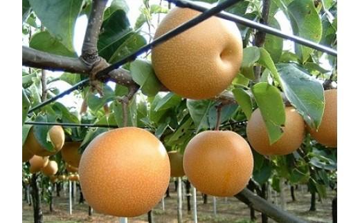 C-4 【残りわずか】あきづき梨 秀品 3Lサイズ 5㎏幸水梨、豊水梨、新高梨をかけ合わせた梨。甘さに自信あり。