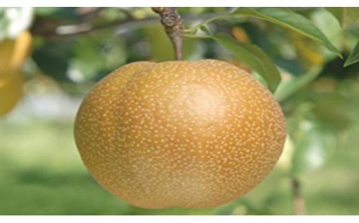 【数量限定】新品種!聖籠産梨「新王」
