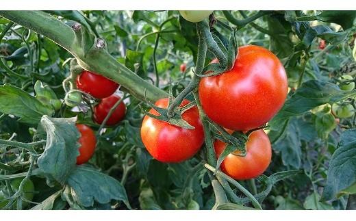 【A010-17】:細川農園の完熟フルーツトマト(中玉) 2.2kg