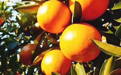 [№5850-0323]特選 袋かけセミノールオレンジ
