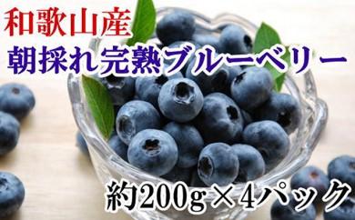 [№5745-1304]和歌山の朝採れ完熟ブルーベリー約800g