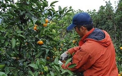 農家手詰めの特選みかん、レモン3個入り 合計5kg