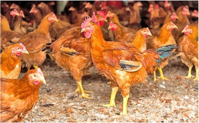 [№5895-0161]『廣島赤鶏』 お試しセット