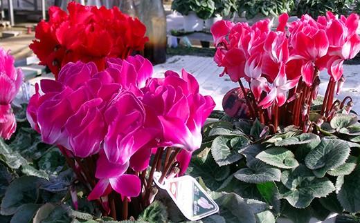 W-1 冬を彩る鉢花の女王「シクラメン」6号鉢  1個