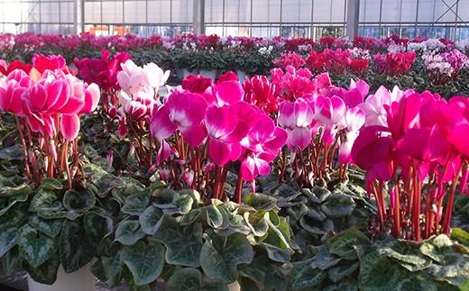 W-2 冬を彩る鉢花の女王「シクラメン」5号鉢×2個