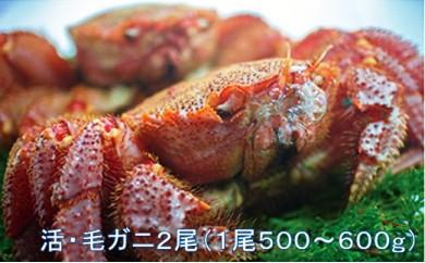 【地元現役漁師が厳選!!】活・毛ガニ2尾(1尾500~600g) 2018年7月発送