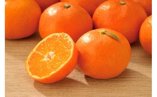温州みかん『2番手の早生』。秋の定番の果物です。