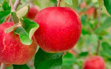 [№5724-0221]<2018年11月初旬よりお届け>りんご 紅将軍 約7.5kg(30~40玉) 【ご家庭用】