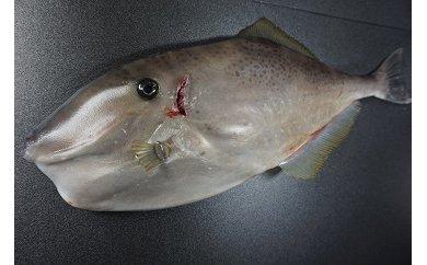 「愛海の恵み」大分豊後水道産 天然ウスバハギ(約2kg 1~2枚)