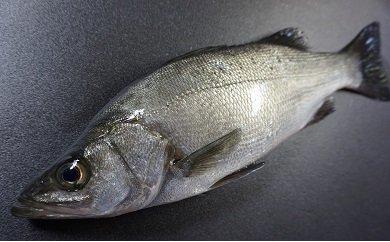 「愛海の恵み」大分豊後水道産 天然ヒラスズキ(約2kg 1~2本)
