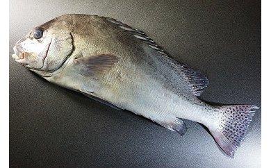 「愛海の恵み」大分豊後水道産 天然コショウダイ(約2kg 1枚)