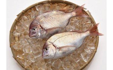 「愛海の恵み」 大分豊後水道産 天然血鯛(約2kg 5~7枚)