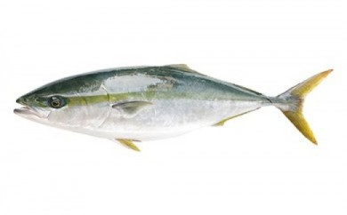 「愛海の恵み」 大分豊後水道産 天然鰤(約3~4kg 1本)