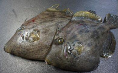 「愛海の恵み」大分豊後水道産 養殖カワハギ(約2kg 4~8枚)