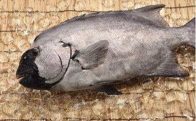 「愛海の恵み」大分豊後水道産 天然イシダイ(約2kg 1~3枚)