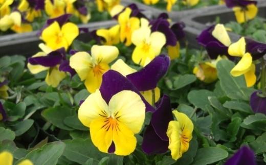 伊川谷町産の季節の花壇苗「生産者おまかせセット」
