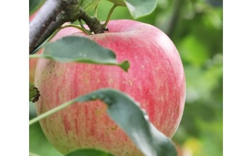 apple-04.葉とらずりんご ふじ 訳あり(ご自宅用)4kg