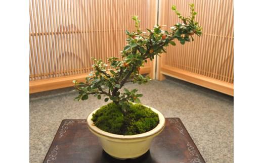 B-24 ベニシタン盆栽(小型サイズ) 樹齢5年程度