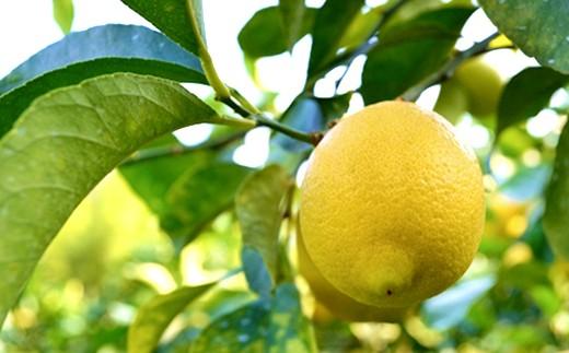 広島産あふれる果汁とほのかな甘みが特徴のイエローレモン3kg