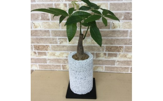 エコ・ポチ チムニー 白 パキラ 観葉植物