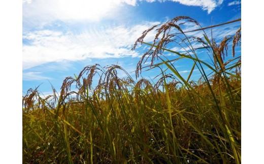 上野農場の稲穂