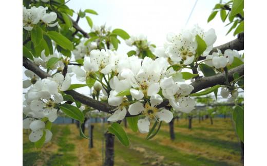 ル レクチエ 満開の花