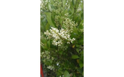 もちの木の花