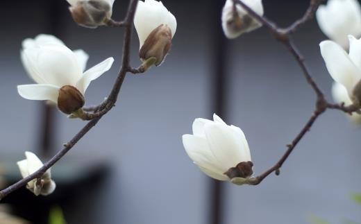 宮代町の花「ハクモクレン」(白木蓮)