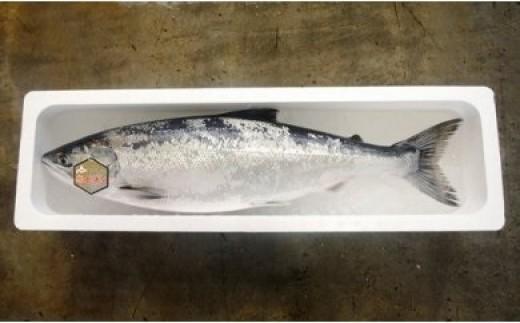 時鮭は、産卵期では無い5月下旬から6月下旬に水揚げされるシロザケで、卵や白子が無く身に脂がたっぷりのり味わいは最高です。