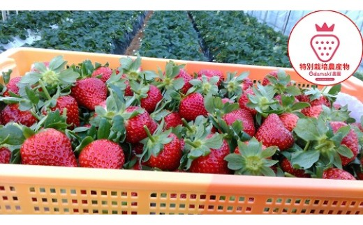 M-AE5【2月発送】特別栽培いちご 古都華と恋みのり又は、おいCベリー