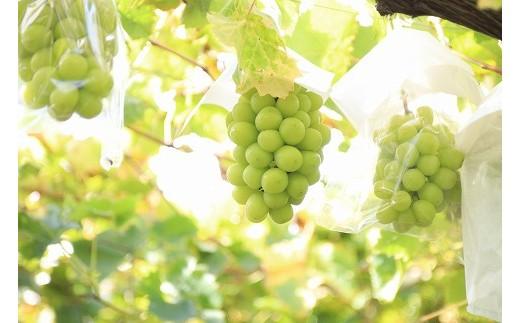 寒河江で育てた果物はどれもこれもおいしさたっぷり♪ そんな寒河江で育ったおいしいシャインマスカットをお届けします!